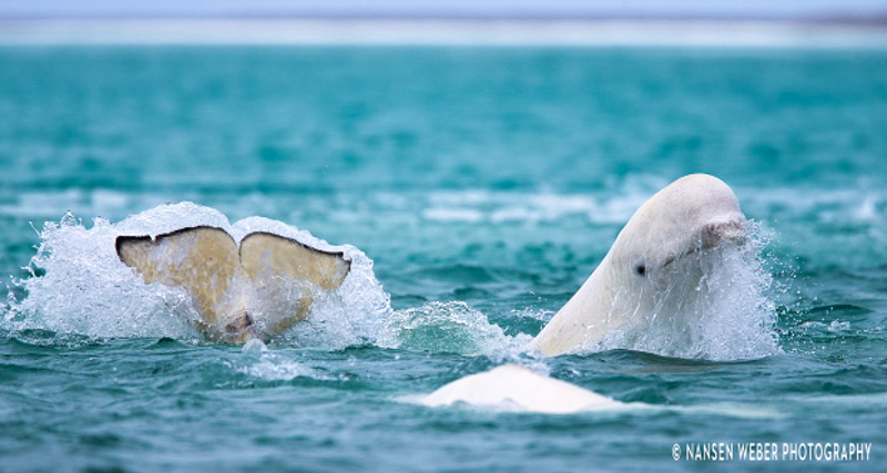 2_drone-footage-of-arctic-beluga-whales